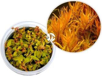 ROŚLINY IN-VITRO Nesea sp. 'Gold' - Roślina o pięknych żółto-pomarańczowych listki