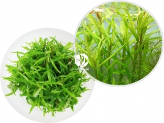 ROŚLINY IN-VITRO Pogostemon Yatabeanus - Jasnozielona roślina przypominająca las
