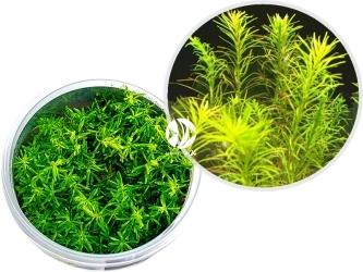 ROŚLINY IN-VITRO Rotala sp.'Nanjenshan' - Roślina o drobnych igiełkowatych liściach