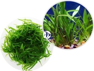 ROŚLINY IN-VITRO Echinodorus Tenellus Broad Leaf - Roślina trawiasta tworząca w akwarium gęsty dywan