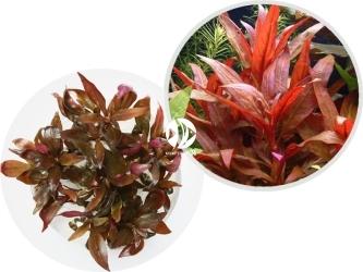 ROŚLINY IN-VITRO Alternanthera Reineckii 'Lilacina' - Roślina o intensywnie czerwonych liściach