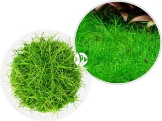ROŚLINY IN-VITRO Eleocharis Acicularis 'Mini' - Roślina tworząca gęsty trawnik w akwarium