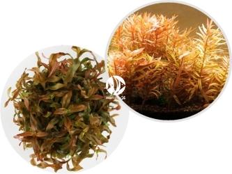 ROŚLINY IN-VITRO Ammania Gracilis - Pomarańczowa roślina łodygowa o podłużnych liściach
