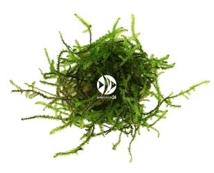 ROŚLINY AKWARIOWE Erect Moss - Mech pionowy  o długich jasnozielonych gałązkach