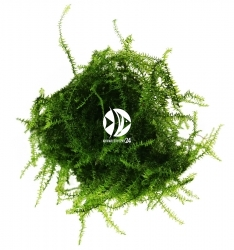 ROŚLINY AKWARIOWE Flat Moss - Wyjątkowo dekoracyjny mech