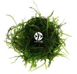 ROŚLINY AKWARIOWE Green Sock Moss - Rzadki gatunek mchu
