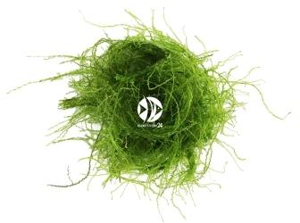 ROŚLINY AKWARIOWE Stringy Moss - Mech rozrastający się pionowo o długich drobnych gałązkach