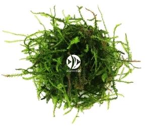 ROŚLINY AKWARIOWE Triangle Moss - Wyjątkowy i rzadki mech