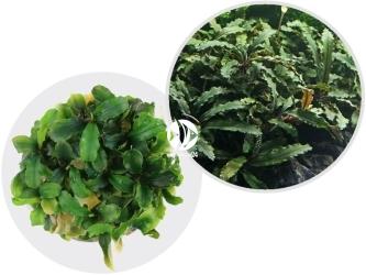 ROŚLINY IN-VITRO Bucephalandra sp. Wave Leaf - Dekoracyjna roślina o pofalowanych liściach