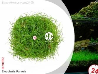ROŚLINY IN-VITRO ELEOCHARIS PARVULA Kubek 5cm - Uprawa In Vitro
