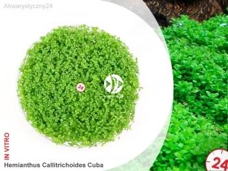 ROŚLINY IN-VITRO HEMIANTHUS CALLITRICHOIDES CUBA Kubek 5cm - Uprawa In Vitro