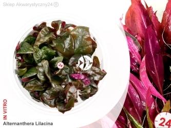 ALTERNANTHERA REINECKII LILACINA Pink | Kubek 5cm, Uprawa In Vitro