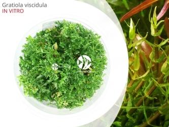 ROŚLINY IN-VITRO Gratiola viscidula Kubek 5cm - Uprawa In Vitro