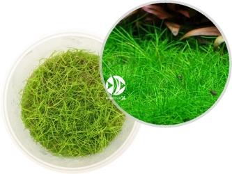 ROŚLINY IN-VITRO Eleocharis Acicularis Mini - Uprawa In Vitro, mała roślina trawnikowa o nitkowatych liściach