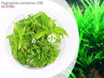 Hygrophila siamensis 53B | Kubek 5cm, Uprawa In Vitro