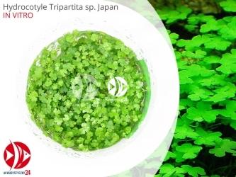 ROŚLINY IN-VITRO HYDROCOTYLE TRIPARTITA JAPAN Kubek 5cm - Uprawa In Vitro