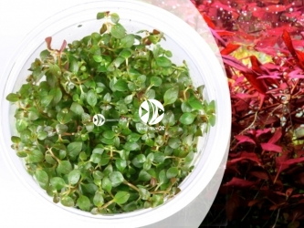 LUDWIGIA SUPER MINI RED | Kubek 5cm, Uprawa In Vitro